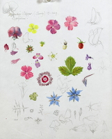 Artist Dorothy Mahoney: Study of cottage garden flowers, Borage, dianthus, geranium, violet and wild strawberry