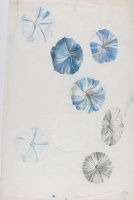 Artist Marion Adnams: Study of Morning Glory (Ipomoea species), circa 1930
